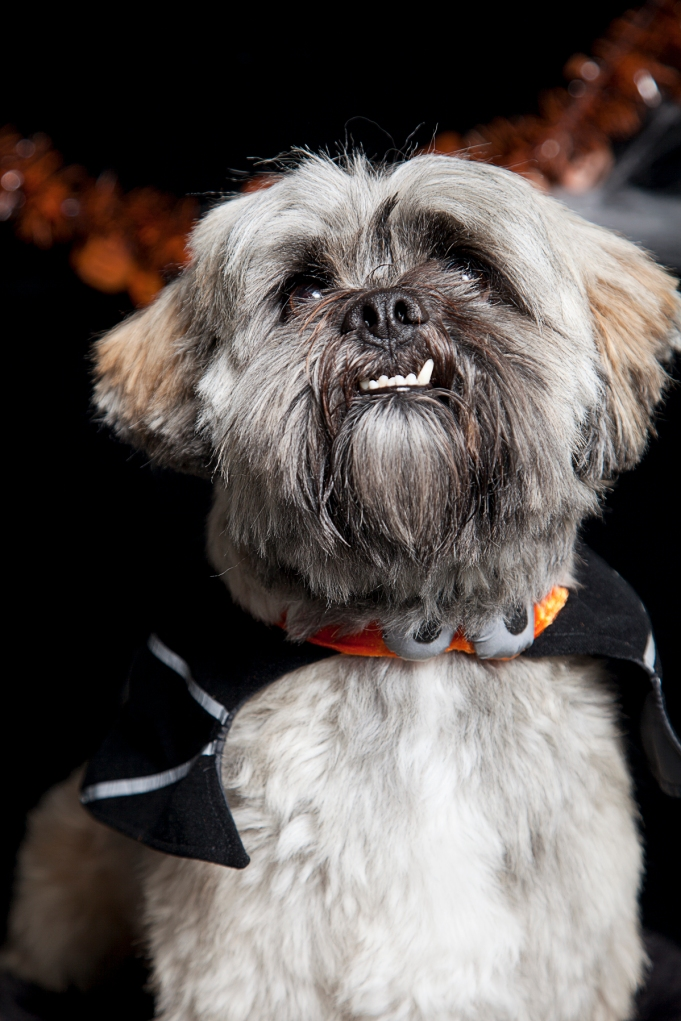 dog dressed as dracula