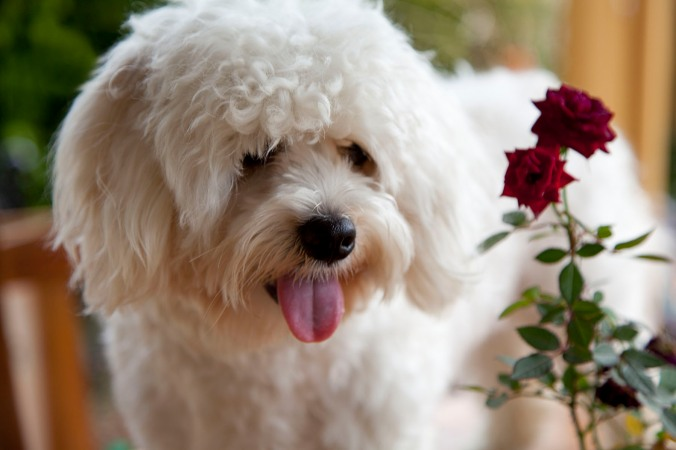 Puppy & rose