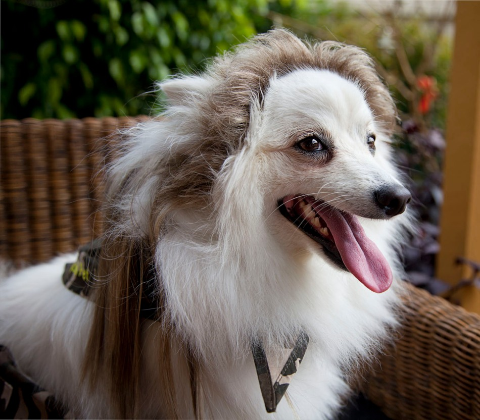 DOg with a mullet