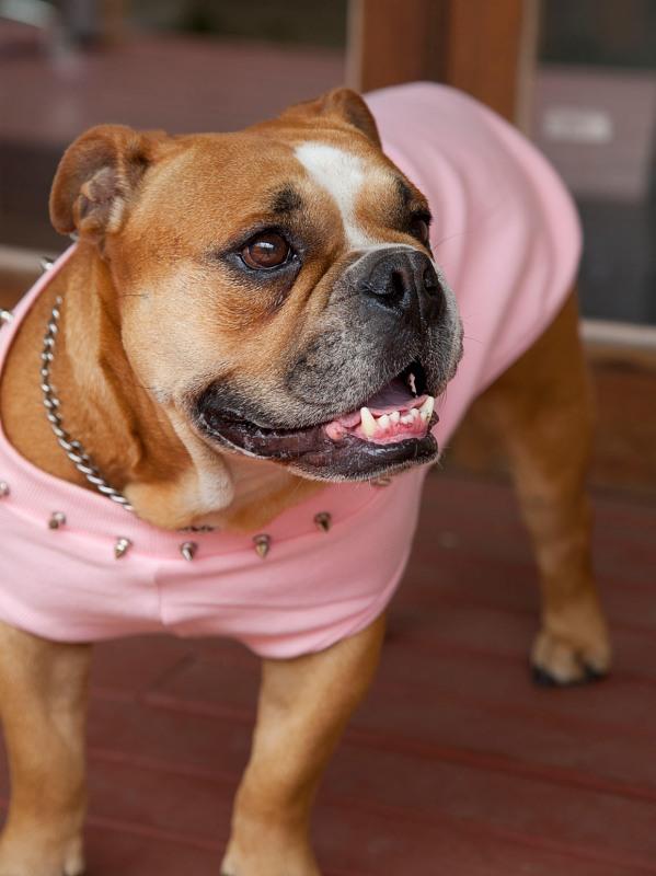 Tough bulldog dressed in pink