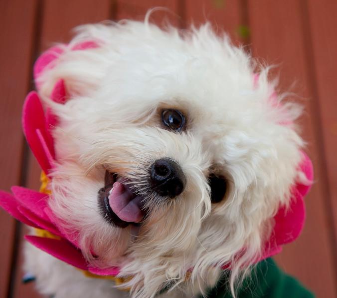 Dog dressed as a flower