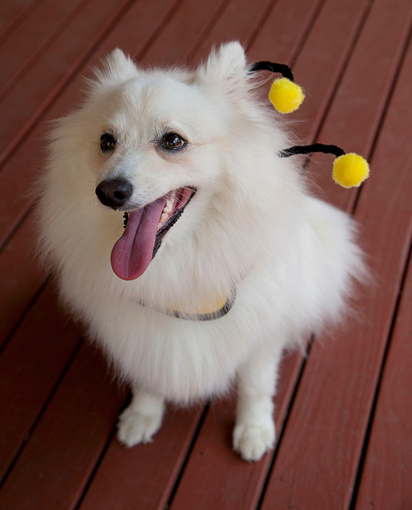 Dog dressed as a bee
